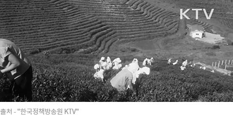 전남 보성 녹차밭
